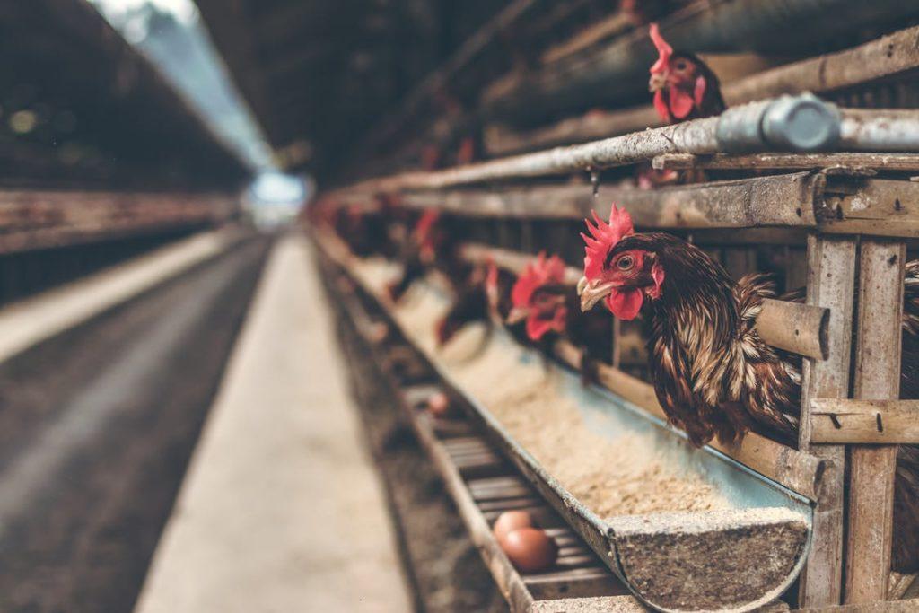 Технология разведения и содержания кур