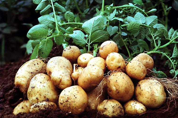 Как рекламировать свой бизнес по выращиванию картофеля